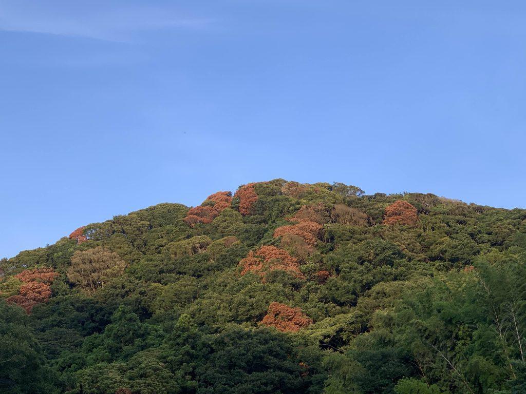 赤茶色に紅葉したように見えるナラ枯れの発生状況
