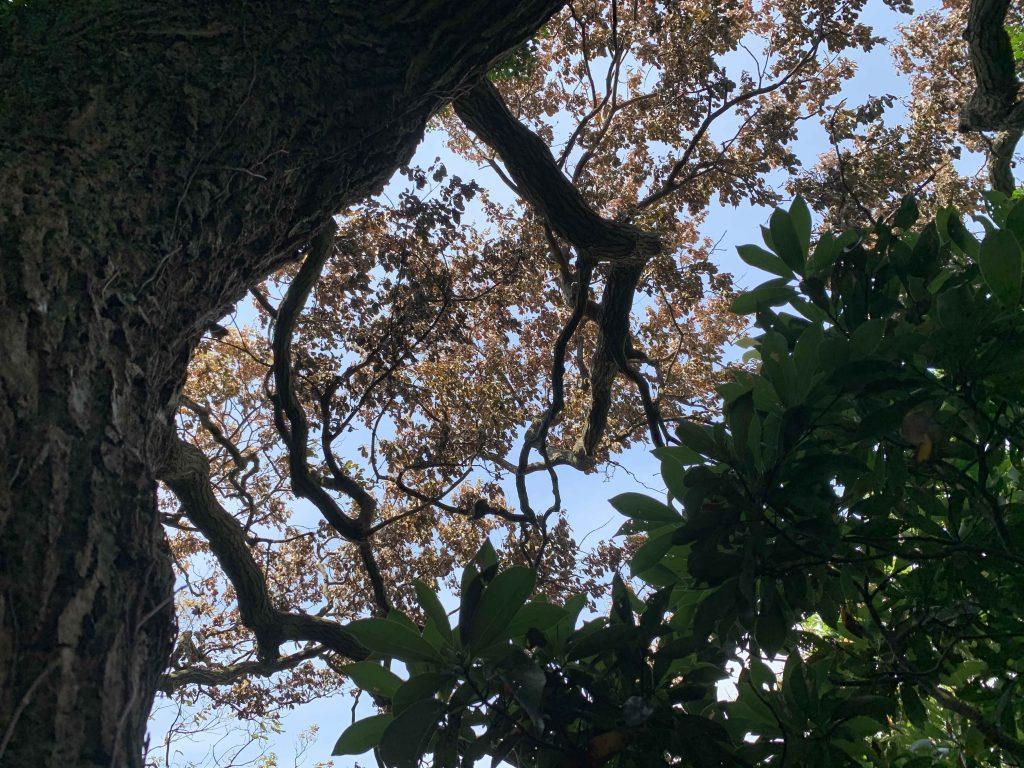 ナラ枯れが発生するブナ科の代表的な樹種コナラの巨木も無残な状況です